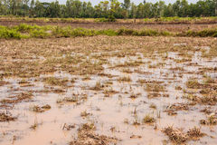 In rice cultivation. Royalty Free Stock Photography