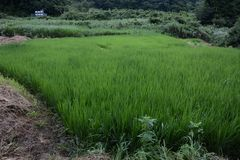 Rice cultivation. And the growth stock images