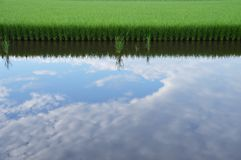 Rice cultivation. And the growth stock photography