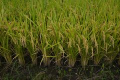 Rice cultivation. And the growth stock image