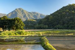 Rice cultivation. Mae hong song, thailand stock photography