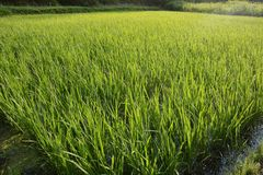 Rice cultivation. / Scenery of rice field royalty free stock photos