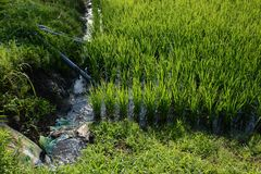 Rice cultivation. / Scenery of rice field royalty free stock photography