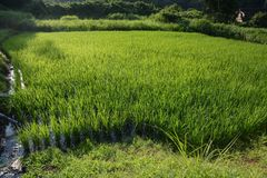 Rice cultivation. / Scenery of rice field stock photo