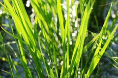 Rice cultivation. / Scenery of rice field royalty free stock photo