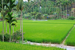 Rice cultivation in Taiwan Royalty Free Stock Photography
