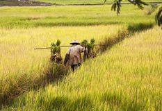 Rice cultivation in Thailand Royalty Free Stock Images