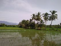 Rice cultivation in tirunelveli, tamilnadu. South india food rice planting in country side. Village vegetation. Green scenery Stock Photo