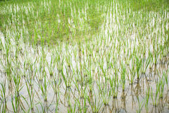 Rice cultivest field. Royalty Free Stock Image