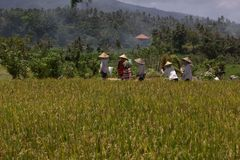 Rice culture in Bali Stock Image