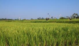 Rice dorośleć w polu Zdjęcie Royalty Free