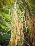 Rice with dragonflies Stock Images