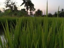 Rice. Drop for Rice Royalty Free Stock Photos