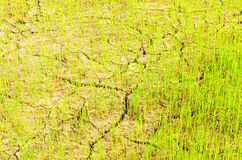 Rice on drought field Royalty Free Stock Photo