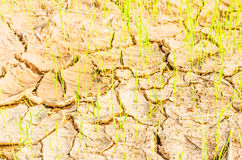 Rice on drought field Stock Photo