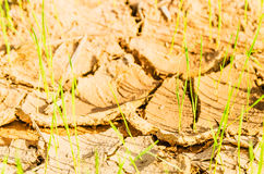 Rice on drought field Royalty Free Stock Photography