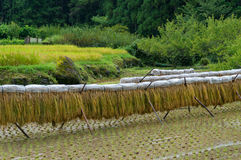 Rice drying on special racks Royalty Free Stock Photo