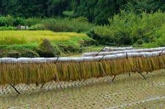 Rice drying on special racks. Agriculture scene. Yotsuya no Semmaida, Japan Royalty Free Stock Photo