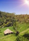 Rice drzewka palmowe i tarasy bali Indonesia fotografia stock