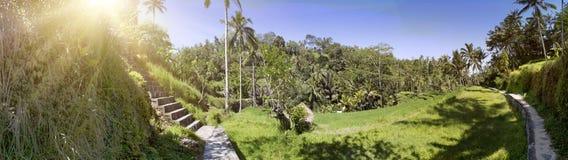 Rice drzewka palmowe i tarasy bali Indonesia obrazy royalty free