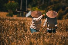 Rice duo workers. A duo of woman working at the field rice royalty free stock images