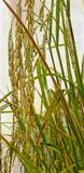 Rice ear in the field stock photos