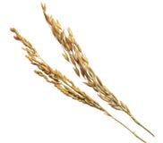 Rice Ears Royalty Free Stock Photo