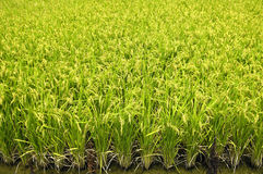 Rice ears. Green paddy field-close up Royalty Free Stock Photos