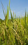 Rice and eye rice. Rice and their eye in a farm under blue sky Stock Images