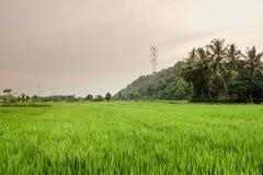 rice för 2 fält Fotografering för Bildbyråer