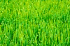 rice för fältgräsgreen Royaltyfri Bild