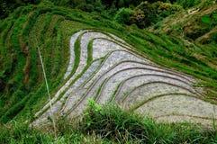 rice för paddies för porslinbacklongsheng Arkivbild