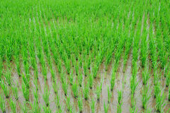 Rice farm. In the asian country Stock Images