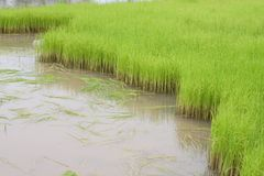 Rice farm Stock Images
