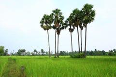 Rice farm. Coconut on the rice farm Royalty Free Stock Photos