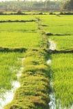 Rice farm. In thai country Royalty Free Stock Photos