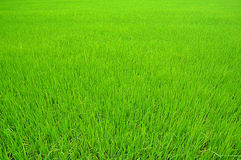 Rice farm. At Ayuttaya in Thailand Royalty Free Stock Images