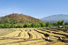 Rice Farm. The Scene of Thailand about Rice Farm Royalty Free Stock Images