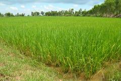 Rice farm. At northeast of Thailand Stock Photo