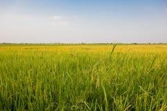 Rice farm. Landscape of rice farm in Thailand Royalty Free Stock Photo