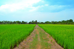 Rice farm. With blue filter ND Stock Photo