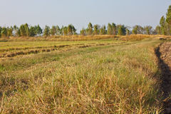 Rice farm. Wide and dry land in the rice farm Royalty Free Stock Photography