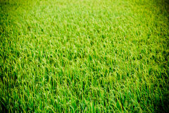 Rice farm , Royalty Free Stock Images