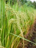 Rice farm. Traditional Thai style rice growth Royalty Free Stock Image