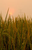 Rice farm. Sunrise on green rice farm Stock Photo