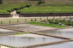 Rice farm. Rice fields royalty free stock images