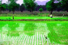 Rice farm. The agriculturist is growwing rice rice which farm ground Royalty Free Stock Photos
