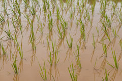 Rice farm Stock Image