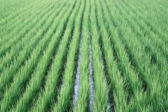 Rice farm background Royalty Free Stock Photo