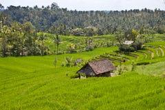 Rice farm in Bali Royalty Free Stock Photography